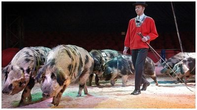 zirkusschweine1.jpg